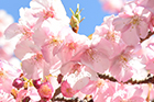 【本館】日本庭園にある河津桜の開花状況について(2月13日現在)